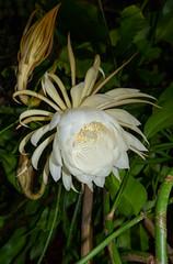 DSC07693 (jaglazier) Tags: 2019 92219 bloomington copyright2019jamesaglazier indiana nightbloomingcereus public september usa flowers plants safe succulents