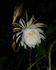 DSC07694 (jaglazier) Tags: 2019 92219 bloomington copyright2019jamesaglazier indiana nightbloomingcereus public september usa flowers plants safe succulents