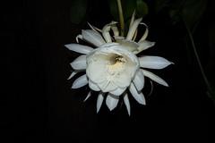DSC07713 (jaglazier) Tags: 2019 92219 bloomington copyright2019jamesaglazier indiana nightbloomingcereus public september usa flowers plants safe succulents