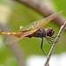 Hyacinth glider, male - lifer!   (Miathyria marcella)
