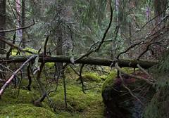Fallen (felix200SX) Tags: woods nature forrest tree canon 70d fallen rotten mos dead rock