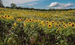 Sunflower galore. . . (CWhatPhotos) Tags: cwhatphotos flickr summer 2019 day photographs photograph pics pictures pic picture image images foto fotos photography artistic that have which contain olympus micro four thirds sun flower flowers sunflower sunflowers field green yellow nature plant plants weed weeds