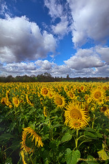 Keep Your Face to the Sunshine (Phil~Koch) Tags: life mood emotions country rural outdoors colors living heaven weather horizons lines landscape art meadow sky sunset clouds scenic vertical photography office portrait serene morning dawn nature natural environment inspired inspirational season beautiful hope love joy dramatic unity trending popular canon fineart arts shadow sun sunrise light peace wisconsin shadows endless earth sunlight horizon pastel summer yellow sunflower sunflowers