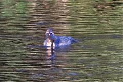 a lot to swallow (ashperkins (dont follow me i`m lost)) Tags: goosander riverconwy northwales ashperkins bird