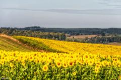 22092019-DSC_0021 (vidjanma) Tags: tournay champdefleurs jaune tournesols