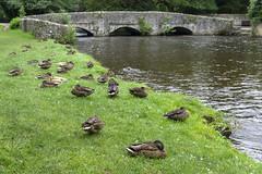 Dozing Ducks (l4ts) Tags: landscape derbyshire peakdistrict whitepeak wyevalley ashfordinthewater riverwye sheepwashbridge ducks