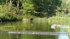 20190921ymd Wlk frm Conksbury_0002 Swans on R Lathkill (paul_slp5252) Tags: derbyshire walking hiking lathkilldale swans rlathkill weirs