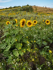 Sunflower fields. (CWhatPhotos) Tags: summer flickr day photographs 2019 cwhatphotos pictures that photography foto image artistic pics picture pic images have photograph fotos flowers sun plant flower green nature field yellow four olympus sunflowers micro sunflower which contain thirds county uk plants weeds weed durham north sunny east engand plawsworth