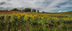 Sunflower fields. (CWhatPhotos) Tags: cwhatphotos flickr summer 2019 day photographs photograph pics pictures pic picture image images foto fotos photography artistic that have which contain olympus micro four thirds sun flower flowers sunflower sunflowers field green yellow nature plant plants weed weeds plawsworth north east engand uk county durham sunny