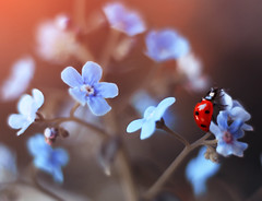 Forget me not 🐞🔮 (ElenAndreeva) Tags: ladybug closeup flowers beauty plant color light natural garden background flower blue sky spring sun bug summer tree insect ladybird andreeva nature macro bokeh focus canon colorful sunny blossom