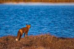 Red Fox Pondering (Dan King Alaskan Photography) Tags: redfox fox vulpesvulpes northslope alaska arctic wildlife pond protectwildlife preservewilderness canon80d sigma150600mm