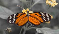 Heliconius (Torok_Bea) Tags: hosszúszárnyútigrislepke heliconiushecale lovely lepidoptera beautiful butterfly amazing awesome nikon nikond7200 nature natur sigma sigmalens sigma150mm macro wonderful fantastic lovenatur