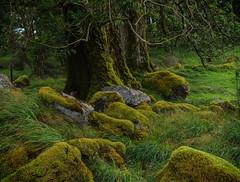 Moss (Tim Ravenscroft) Tags: moss rocks tree nature landscape bala wales hasselblad hasselbladx1d