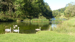 20190921ymd Wlk frm Conksbury_0003 Swans on R Lathkill (paul_slp5252) Tags: derbyshire walking hiking lathkilldale swans rlathkill weirs