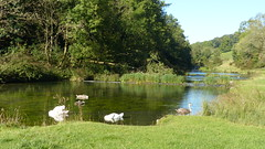 20190921ymd Wlk frm Conksbury_0004 Swans on R Lathkill (paul_slp5252) Tags: derbyshire walking hiking lathkilldale swans rlathkill weirs