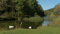 20190921ymd Wlk frm Conksbury_0005 Swans on R Lathkill (paul_slp5252) Tags: derbyshire walking hiking lathkilldale swans rlathkill weirs
