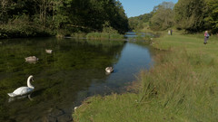 20190921ymd Wlk frm Conksbury_0007 Swans on R Lathkill (paul_slp5252) Tags: derbyshire walking hiking lathkilldale swans rlathkill weirs