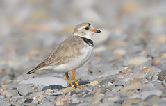 Piping Plover (Steven Rossi) Tags: piping plover