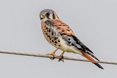 American Kestrel (Glenn R Parker) Tags: falcons americankestrel