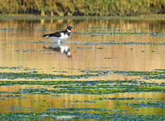 Oystercatcher:  19.9.19. (VolVal) Tags: dorset bournemouth hengistburyhead bird wader oystercatcher lagoon september water
