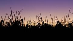 Champ de maïs / Corn field (PriscillaHernandez85) Tags: canon50mmf18 canon550d france isère landscape paysage rhonealpes champdemais ciel clhamp color contrejour couleur eos550d field light lumiere mais nature silhouette sky cornfield
