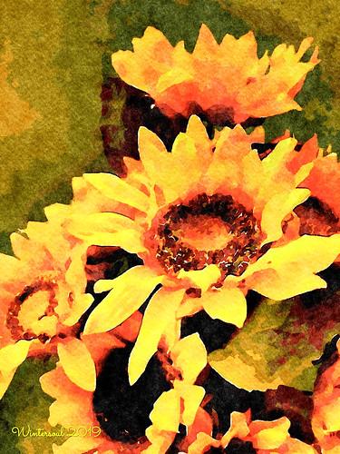 sunny sunflowers 2......2019 09 23