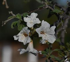 Little Leaf Cordia, Cordia parvifolia (Dave Beaudette) Tags: boraginaceae littleleafcordia cordiaparvifolia christophercolumbuspark tucson pimacounty arizona