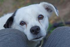 DSC07040 (Argstatter) Tags: mischlingsterrier hund weis tier dog nahaufnahme porträt
