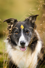39/52  Superdog (JJFET) Tags: 52 weeks for dogs paddy border collie autumn 39 sheepdog dog