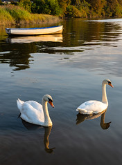 Swans on River Slaney Co Wexford (Dec Roche) Tags: nikon nature sigma1750 d7200 wexford repofireland southeastireland swans boats