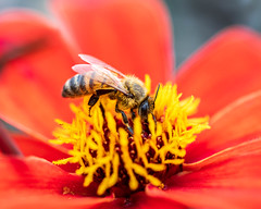Bee On Flower (RavenPHD) Tags: bee pollination pollen macro nature upclose flower honey pnw fly bug insect life energy wildlife gaia earth