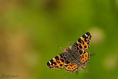 Carte géographique (gael611) Tags: papillon farfalle butterfly nature natur macro makro proxy