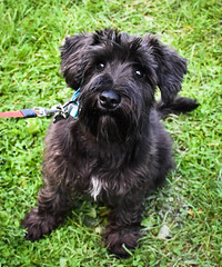 Milo - 4 month old (littlestschnauzer) Tags: milo pup puppy 4 months old miniature mini schnauzer black cute pet uk