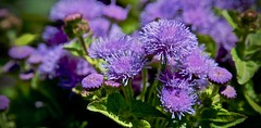 Little Field of Purple Pom Poms (iseedre) Tags: purpleblossoms butterflyfields encinitas ca petals stems
