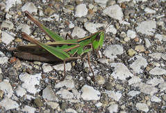 handsome grasshopper (Cheryl Dunlop Molin) Tags: grasshopper handsomegrasshopper syrbulaadmirabilis insect