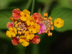 Lantana (bamboosage) Tags: meyer optik trioplan 100 28 preset m42 with 2 takumar extension tube