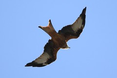 IMG_0180 ~ 2019-09-21 in Poyle (1) (www.EGBE.info) Tags: redkite cvtwings wildlifestudies davelenton canoneos800d 21092019 wwwegbeinfo