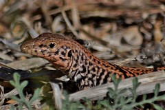 Whiptail lizard (rlt64) Tags: reptiles lizards nature wildlife