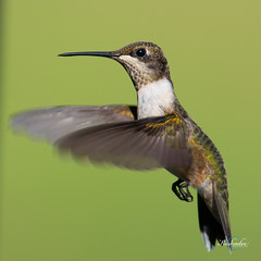 Levitation (Birds and Other Cools Stuff!) Tags: red ruby rubythroated hummer hummingbird hover levitate fly flap buzz whir air feather summer bird birding ornithology sugar sugarwater sip