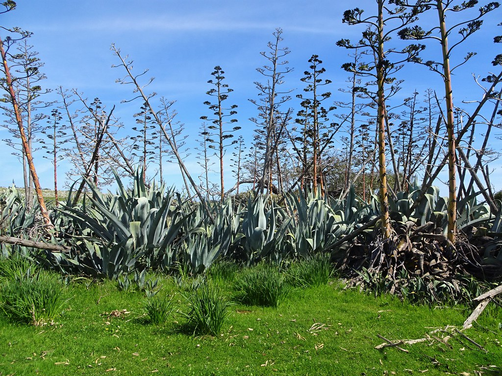 Port Lincoln Eyre Peninsula. Giant aloes on Mikkira station.