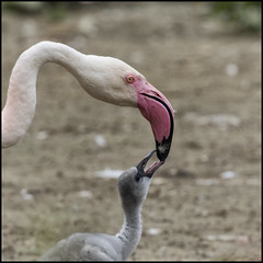 _SG_2019_06_3009_IMG_5098 (_SG_) Tags: flamingo kopf head rosa pink flamingoes phoenicopterus tiere animals tier wildlife new born nachwuchs
