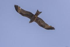 NIBBIO     -----     KITE (Ezio Donati is ) Tags: uccelli birds animali animals foresta forest acqua water cielo sky westafrica costadavorio bandamariver