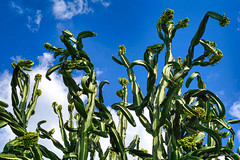 Euphorbia ingens (NettyA) Tags: australia brisbane euphorbiaingens euphorbiaceae mtcootthabotanicgarden qld queensland cactus flora flowers nature plants seqld