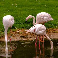 Greater flamingo - Diergaarde Blijdorp (Rotterdam/NL) (About Pixels) Tags: 0626 2019 aboutpixels blijdorpzoo holland mnd06 nikond7200 nl nederland netherlands nikon rotterdam rotterdamzoo summerseason zomerseizoen zuidholland collecties june juni southholland diergaardeblijdorp fauna