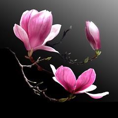 Magnolias Trio (Pixel Fusion) Tags: nature nikon flora flower aperture macro d600 photoshop magnolia