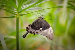 Butterfly [Explored #338] (Emmanuel Lemée   Photographie) Tags: nikon d800 papillon butterfly jardin papillons vannes bretagne emmanuel lemée france lightroom morbihan nikkor 105mm aux