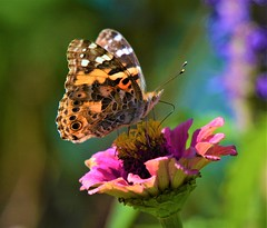 Painted Lady Butterfly (primpenny1) Tags: paintedladybutterfly insect flower nikon nature flora wisconsin garden