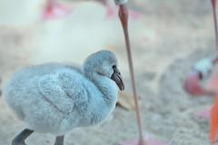 Flamingo chick (Zara Calista) Tags: bird nature flamingo chick light soft bokeh aquatic pink nyc
