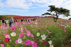 Hill covered in cosmos flowers (sumi!) Tags: hitachiseasidepark hitachinaka ibaraki park japan autumn kochia summercypress cosmos flower clouds cloud bluesky sky tree pink