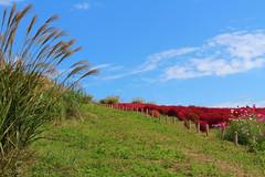Pampas grass and kochia (sumi!) Tags: hitachiseasidepark hitachinaka ibaraki park japan autumn kochia summercypress pampasgrass clouds cloud bluesky sky red blue